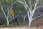 Ghost gum trees, Windjana Gorge National Park, Western Australia