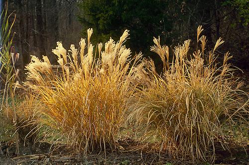 Decorative grass on pond edge mother daughter press for Ornamental grasses for ponds