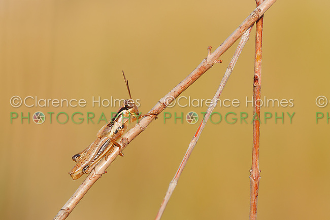 A Spur-throated Grasshopper (Melanoplus sp.) perches on a plant stem.