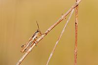 A Spur-throated Grasshopper (Melanoplus sp.) perches on a plant stem.