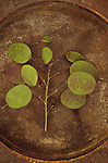 Stem of burgundy and green discs of unripe seedheads of Honesty or Lunaria lying on tarnished metal plate