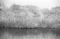 snow covered reeds by a pond in East Hampton,NY