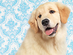 Golden Retriever four month old puppy artistic portrait on blue wallpapaer background