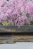 Cherry blossom hangs over the wall that surrounds the Ryoan-Ji Temple garden