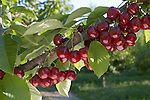 Lapins Cherries, Douglas County, Washington near Orondo