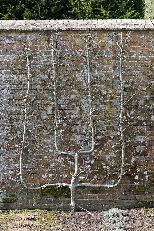 Espalier-trained multiple cordon pear tree, early March.