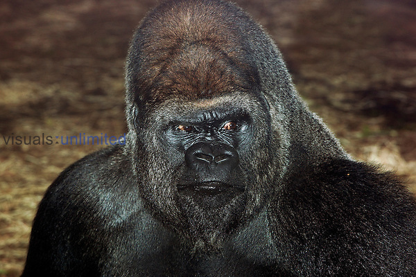 Eastern Lowland Gorilla (Gorilla gorilla graueri), head of male. Captivity