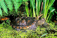 1R05-115z  Snapping Turtle - in pond with duckweed - Chelydra serpentina