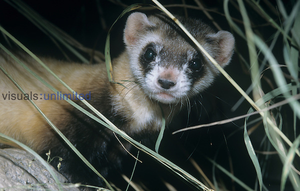 Black-footed Ferret (Mustela nigripes), a highly endangered species of North American mammal.