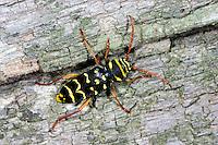 Eichen-Widderbock, Eichenwidderbock, Widderbock, Wespenbock, Eichenzierbock, Wespen-Bock, Eichen-Zierbock, an Eichenholz, Plagionotus arcuatus, Clytus arcuatus, yellow-bowed longhorn beetle, Tarnung als Wespe - Mimikry, mimicry