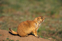 637010016 Black-tailed Prairie Dog Cynomys ludivicaniaus WILD.Adult at burrow.Canadian, Texas