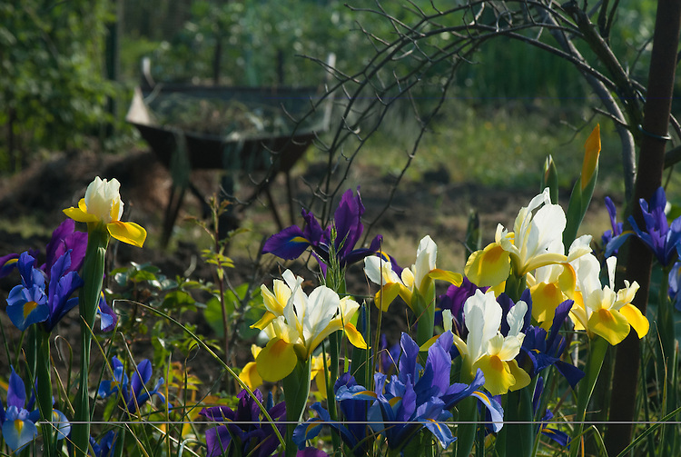 Irises on neighbourhood allotment site, late May.