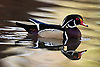 Wood Duck (Aix sponsa) in Lagoon at L.A. County Arboretum, California