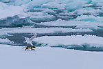 Alkefjellet, a large bird colony in Arctic Svalbard, Norway