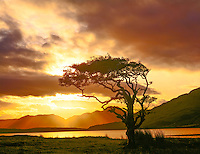 Myrtle tree at dawn, Connemara National Park, Republic of Ireland, County Galway, Septembe,  Fiords near Kylemore  Abbey