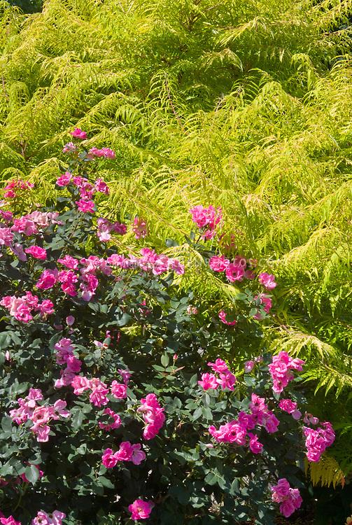 Rhus typhina 'Bailiger' aka 'Tiger Eyes' Staghorn Sumac shrub with golden yellow cutleaf foliage and Rosa 'Pink Knockout' rose aka 'Radcon'