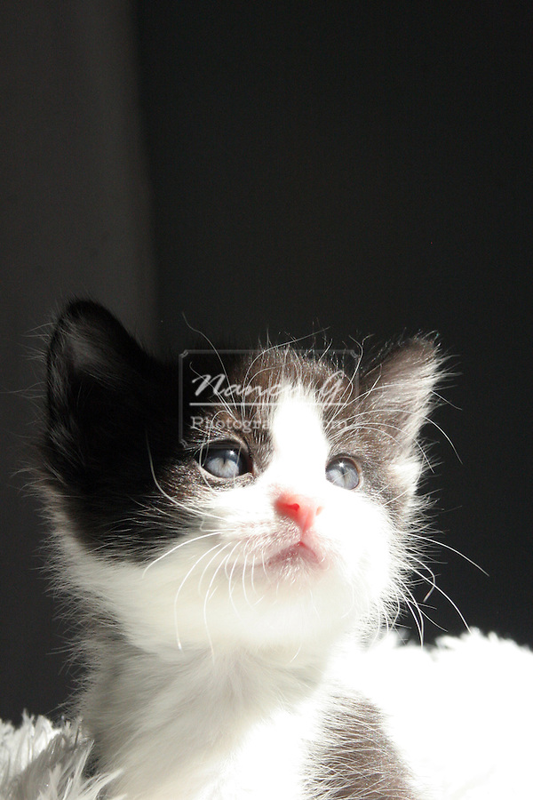 A black and white kitten