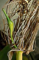 Plant History Glasshouse (formerly Australian Glasshouse), 1830s, Rohault de Fleury, Jardin des Plantes, Museum National d'Histoire Naturelle, Paris, France. Detail of Crinum fruit in the afternoon light.