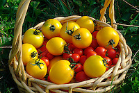Basket of Tomatoes, Cherry Tomatoes, Golden Boy Tomatoes, produce, agriculture, food.Phil Degginger
