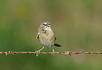 578680005 wild male botteris sparrow aimophila botterii perches on barbed wire fence and sings to defend territory in the rio grande valley south texas