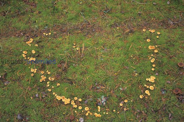 Fairy ring of mushrooms, North America.