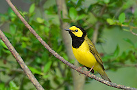 591920007 a wild male hooded warbler setophaga citrina - was wilsonia citrina - perches on a dead branch in hardin county texas united states