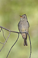 570500003 a wild greater pewee contopus pertinax flutters its wings while sitting on a branch in rosy canyon campground mount lemmon tucson arizona united states