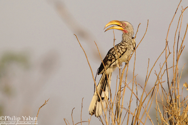 "Southern yellow-billed hornbill, a.k.a. the ""flying banana"" (Tockus leucomelas), Hwange National Park, Zimbabwe"
