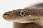 Close-up of Olive Pythons(Liasis olivaceus) on white background