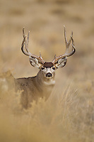 Mule deer buck (Odocoileus hemionus)in Colorado