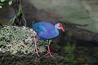 Purple Swamphen (Porphyrio porphyrio), Captivity.