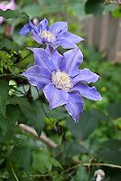 Clematis Crystal Fountain in blue blooms aka 'Evipo038' semi-double climbing flowering vine in lilac-blue blooms