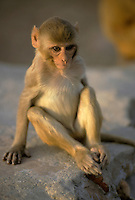 India, Rajasthan, Jaipur, baby monkey