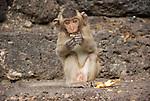 Monkey Eating orange, front view