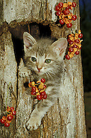 Bittersweet berries around Tabby kitten climbing out of log