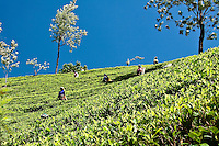 Tea pickers in a sea of green against an intensely blue sky.<br /> (Photo by Matt Considine - Images of Asia Collection)