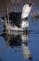 537296192 a wild adult blue phase snow goose chen caerulescens swims in a small reed filled pond at bosque del apache national wildlife refuge new mexico united states