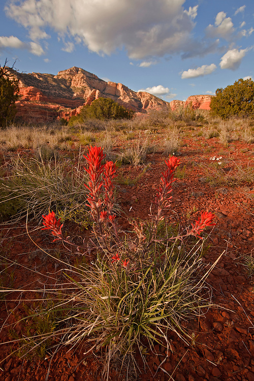 Indian Paintbrush (Castilleja sp.) bloom near Red Canyon