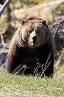 Yellowstone is Grizzly country. This Grizzly bear (Ursus arctos horribilis)<br />