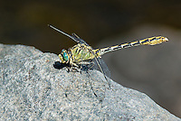 389790001 a wild male pale snaketail ophiogomphus severus perches on a large rock in a stream in modoc county california