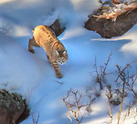A bobcat walks along the Madison River in Yellowstone.