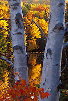 Maples in fall color reflect in the Dead River as seen through a stand of white birches near Marquette, Michigan in autumn.