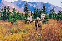 Bull Moose, foothills of the Alaska mountain range, Denali National Park, Alaska