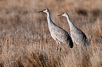 Sandhill Cranes walking in grass