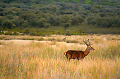 Red Deer (Cervus elaphus), Castilla La Mancha, Spain