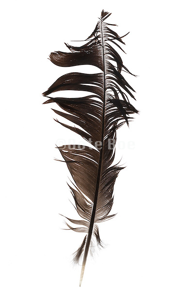 a ruffled up bird feather