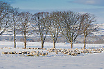 Flock of sheep  in a snowy field in Scotland