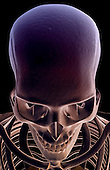 A superior anterior view of the bones of the head and face. Royalty Free