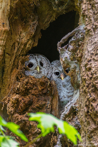 Barred Owl and Owlet on Nest
