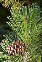 Pinus heldreichii with evergreen pine cone